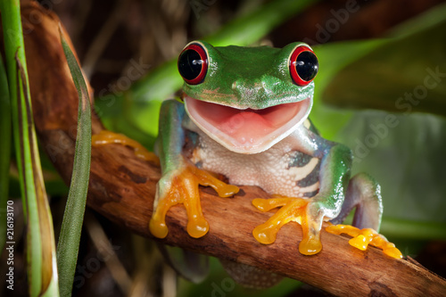 Spoed Foto op Canvas Kikker Red-eyed tree frog sitting on a branch and smiling