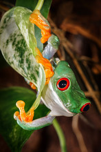 Red Eyed Tree Frog Climbing On...