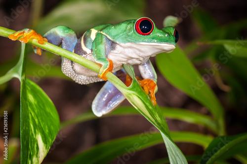 Foto op Plexiglas Kikker Tight tree frog swings on the plant and ready to jump