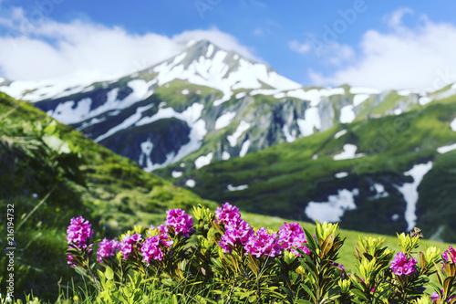 Fotografie, Tablou  Alpine meadow with potentilla flowers blooming on Whistlers mountain in Jasper N