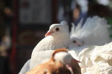 White Pigeon Sitting With Othe...