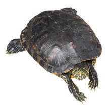 Red Eared Slider Turtle ( Trac...