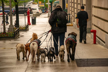 Dog Walker In NYC With A Pack ...