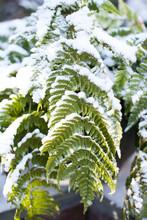 Snowy Fern