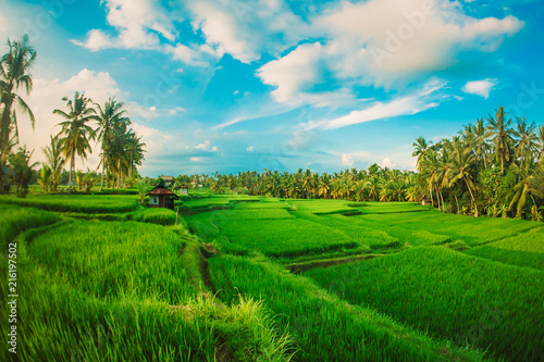 Fotobehang Rijstvelden Green terraced rice field. Nature landscape background. Ubud. Bali, Indonesia