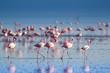 canvas print picture - Fenicotteri rosa e fenicotteri minori a Lake Natron in Tanzania
