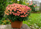 Potted chrysanthemum plant in a back yard setting.