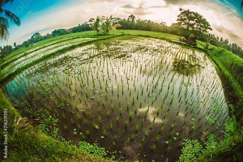 Fotobehang Rijstvelden Green terraced rice field. Nature landscape background. Ubud. Bali, Indonesia