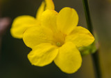 Bright Winter Jasmine