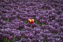 A Unique Tulip