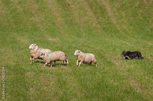 Foto op Aluminium Schapen Stock Dog Runs Sheep (Ovis aries) Right on Course