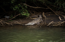 Wild Adult Crocodile Rests On A Mud Bank By The Side Of The River In Its Natural Habitat In Costa Rica