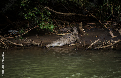 Foto op Aluminium Krokodil Wild adult crocodile rests on a mud bank by the side of the river in its natural habitat in Costa Rica
