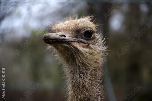 Fotobehang Struisvogel suspicious ostrich
