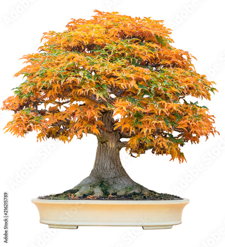 Foto auf Leinwand Bonsai Yellow bonsai maple tree acer palmatum bonsai tree of trident maple in autumn shishigashira maple bonsai