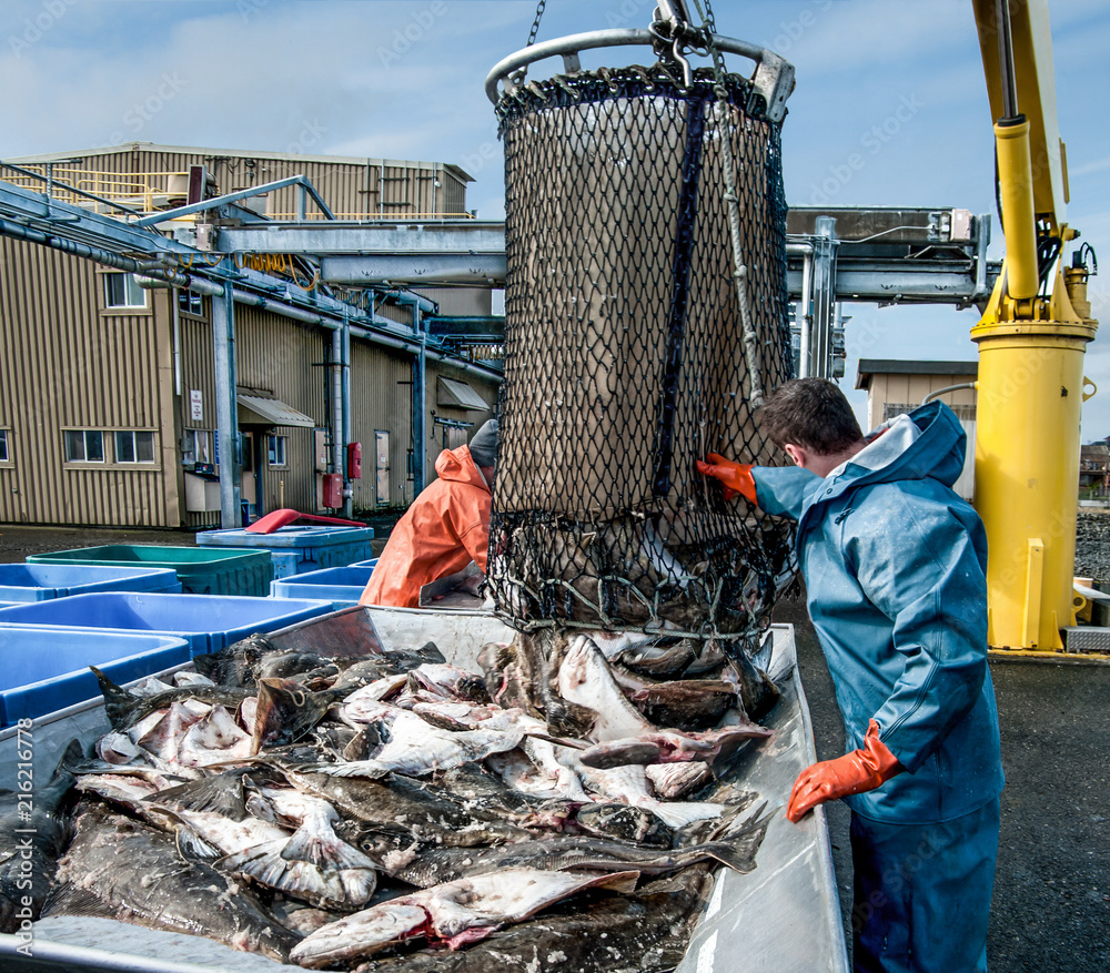 Fototapeta Unloading Fish:  Fresh caught halibut drop from the bottom of a transport basket after being hoisted by crane from a fishing boat at a dock in Alaska.