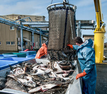 Unloading Fish:  Fresh Caught ...