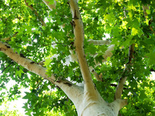 Beautiful White Sycamore Tree