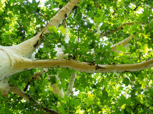Beautiful White Sycamore Tree With Bright Green Leaves - Shot From Below