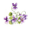 Bouquet of violets. Watercolor composition. Flower backdrop. Decoration with blooming violets, hand drawing.  Illustration.