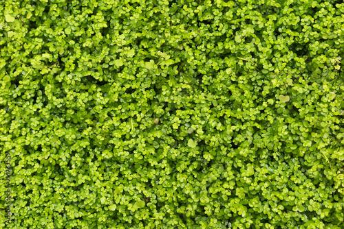 liście koniczyny