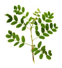 Twig With Green Leaves Of Siberian Peashrub