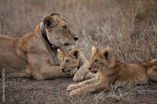 Zdjęcie XXL Mali lisi lisiątka w Serengeti parku narodowym w Tanzania