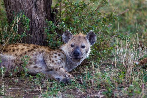In de dag Hyena Iena nella savana africana maculata crocuta crocuta