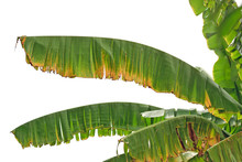 Dry Banana Leaves Isolated On White Background For Nature Concept