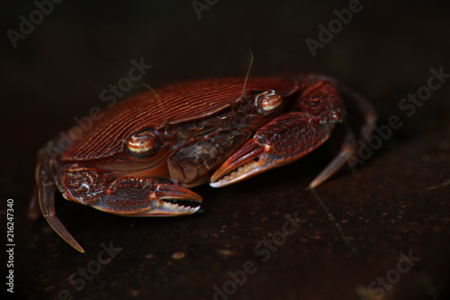 Photo  Crab Lissocarcinus arkati. Picture was taken in Lembeh, Indonesia