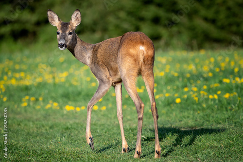 In de dag Hert Roe deer in grass, Capreolus capreolus. Wild roe deer in spring nature.