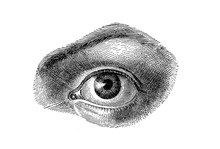 Anatomy - Human Eye Detail, Isolated On White