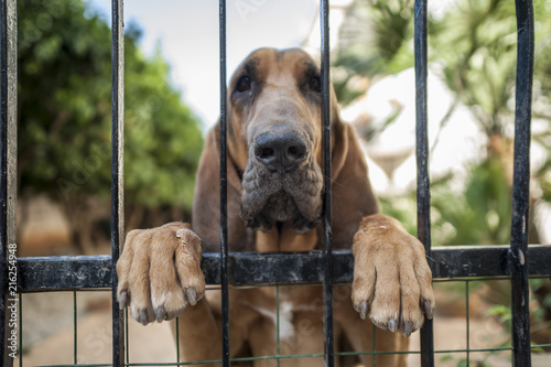 Fotografie, Tablou Bloodhound appearing at the gate.