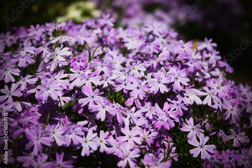 Foto op Canvas Azalea Flowers
