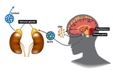 Hypothalamic-pituitary-adrenal...