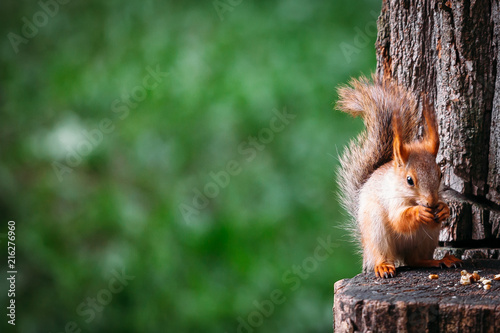 In de dag Eekhoorn squirrels eat nuts on a stump in summer. place for textplace for text