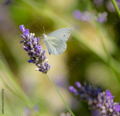 Fototapety, obrazy: White butterfly in a lavender garden