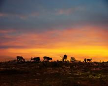 Reindeers In Lapland Midnight ...