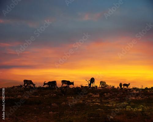 Fotografia, Obraz Reindeers in Lapland midnight sun