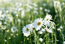 Shasta Daisies Flowers In Furano Garden , Hokkaido
