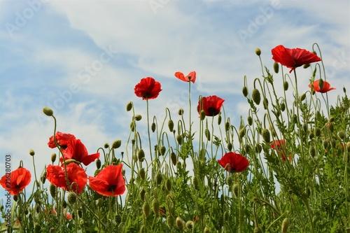 Poster Poppy Red poppy with blue sky