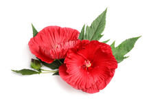Beautiful Red Hibiscus Flowers On White Background