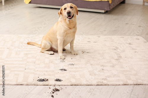 Fotografía  Cute dog leaving muddy paw prints on carpet