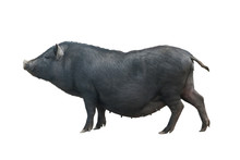 Vietnamese Pig Isolated