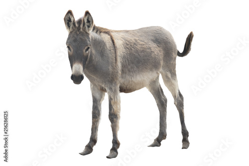 Keuken foto achterwand Ezel donkey isolated a on white
