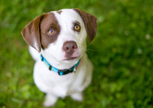 A Brown And White Mixed Breed ...