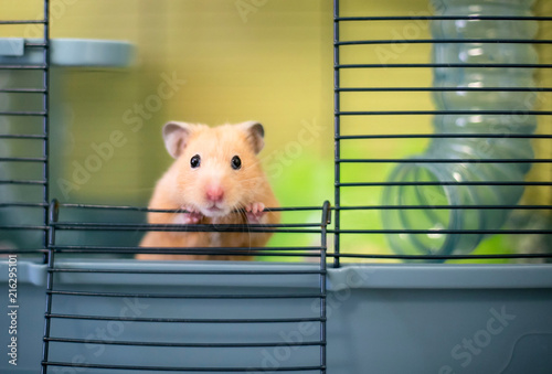 Photo A Syrian hamster peeking out of its cage