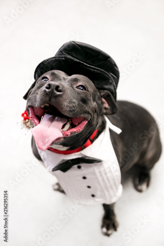 Photo A happy Staffordshire Bull Terrier mixed breed dog in a tuxedo and top hat costu