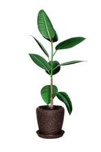 Potted Ficus Tree Isolated On White