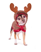Cute Chihuahua Dressed Up In A Reindeer Costume Isolated On A White Background
